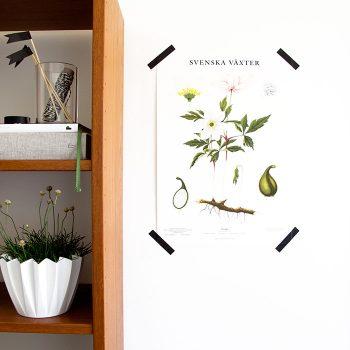 Skolplansch nytryck Vitsippa svenska växter