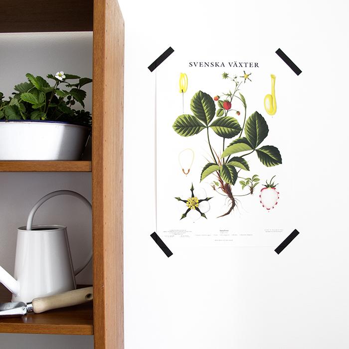 Skolplansch nytryck smultron svenska växter